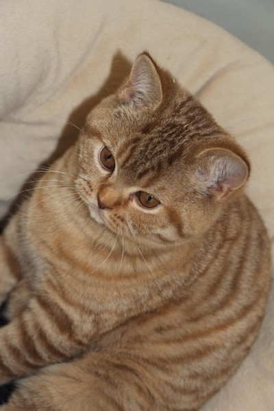 Lasya, British shorthair, cinnamon tortie mackerel tabby