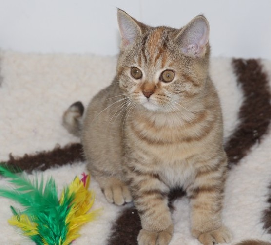 Leela, couleur chocolat tortie spotted tabby