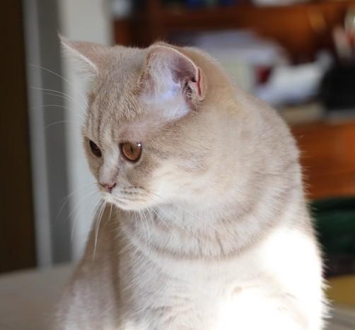 Lona, British shorthair lilac tabby à 6mois