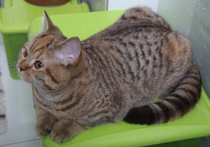 Leela, chocolat tortie spotted tabby, DISPONIBLE