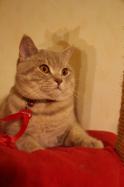 British shorthair lilac tabby