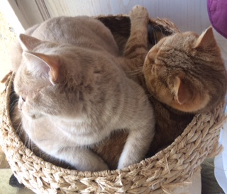 Chattes British shorthair Lilac et cinnamon tortie tabby