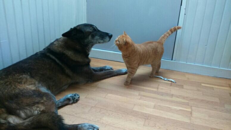 Garfield/Hector et Bratack, le sage Malinois qui aime la compagnie des chats. Notez l'assurance d'Hector plus rassuré que Bratack !