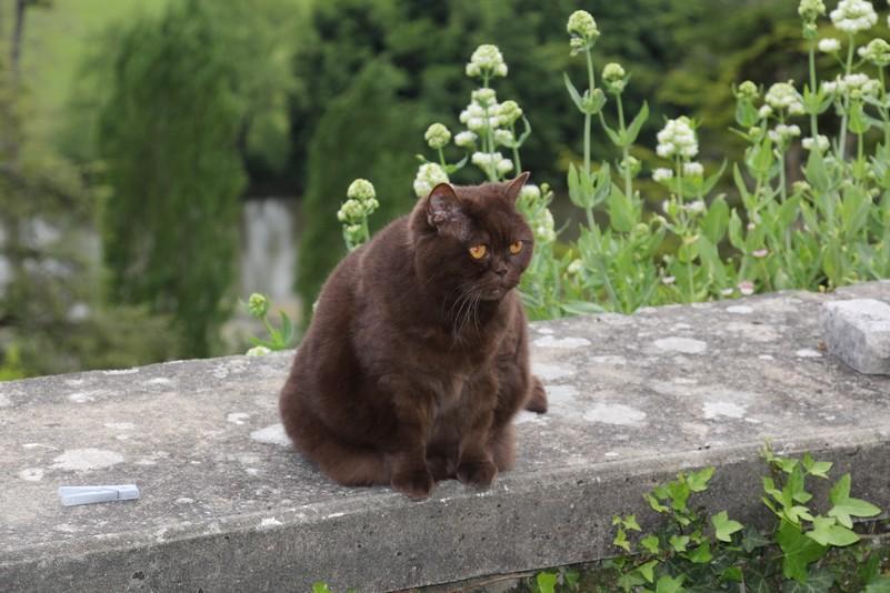 Vénus de peyrat, British shorthair chocolat, à 12 ans