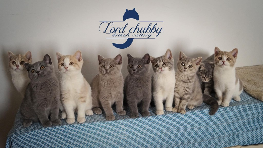 La ribambelle de chatons British Shorthair Lord Chubby