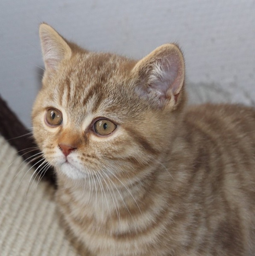 British shorthair chocolat mackerel tabby