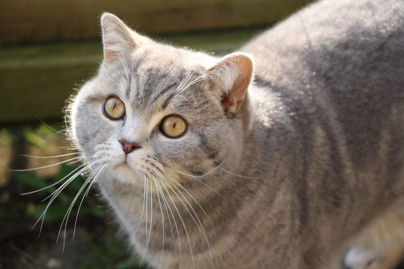 British shorthair bleu blotched tabby