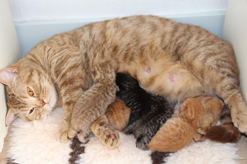 Lasya et ses cinq chatons à un jour