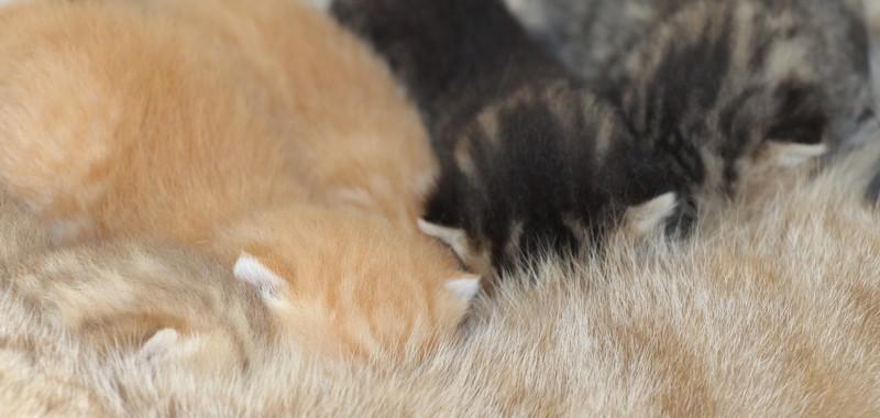 Les cinq chatons de Lasya des Sources de la Touvre et Aaron Lord Chubby