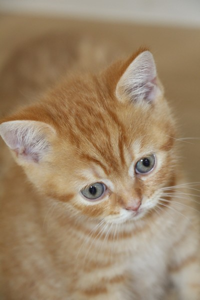 Néko, chaton British shorthair roux rayé, red mackerel tabby, DISPONIBLE
