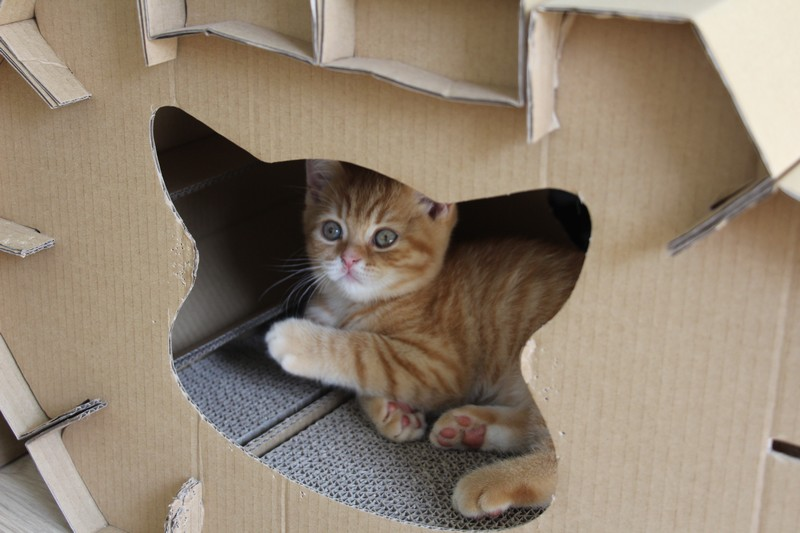 Néko (disponible à l'adoption), sage, dans la maison en carton...mais le calme ne va pas durer !